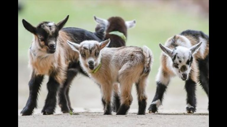 How to Buy Infant Goat Milk